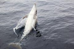 Wild Playful Bottlenose Dolphin Stock Photography