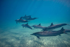 Wild playful dolphins underwater in deep blue ocean. Pod of dolphins traveling along shoreline in blue ocean water. Blue water and sandy bottom Stock Image