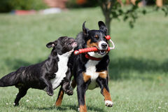 Wild playing dogs. French bulldog and Appenzeller Sennenhund are playing with a dogtoy Stock Image