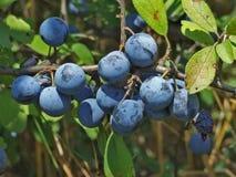 Wild plum Stock Images