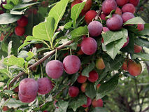 Wild plum Royalty Free Stock Photography