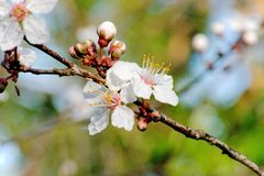 Wild Plum Blossom On a Spring Morning - Prunus Domestica A walkers Delight. Typically forming a large shrub or tree and often thorny. They produce flowers of stock images