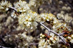 Wild plum blossoms on a spring day stock photography
