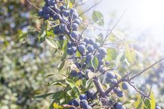 Wild plum on a branch. Of thorns summer Sunny day light Prunus spinosa stock photography