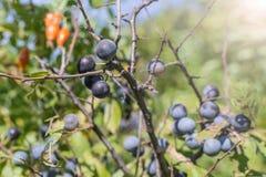 Wild plum on a branch. Of thorns summer Sunny day light Prunus spinosa stock photo