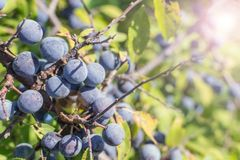 Wild plum on a branch. Of thorns summer Sunny day light Prunus spinosa royalty free stock images