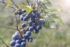 Wild plum on a branch. Of thorns summer Sunny day light Prunus spinosa royalty free stock image