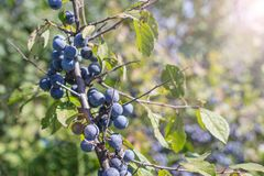Wild plum on a branch. Of thorns summer Sunny day light Prunus spinosa royalty free stock photos