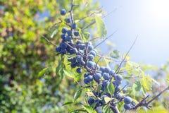 Wild plum on a branch. Of thorns summer Sunny day light Prunus spinosa stock photos