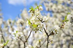 Wild Plum Branches. Closeup. Early Spring Blossom - Wild Plum or American Wild Plum royalty free stock photos