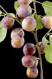 Wild-plum close up royalty free stock images