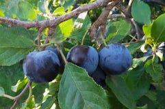 Wild plum grown in the garden. Wild plum cultivated in the garden royalty free stock photos