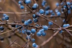 Wild plum with drops after rain a. Wild plum with drops after rain royalty free stock photography