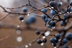 Wild plum with drops after rain a. Wild plum with drops after rain royalty free stock image