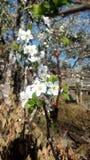Wild plum flower. Bloom royalty free stock photography