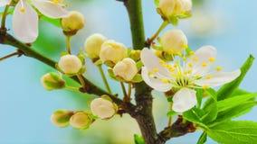 Wild plum flower blossoming stock video