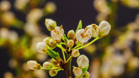 Wild plum flower blossoming stock video footage