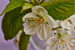 Wild plum flower macro Stock Images