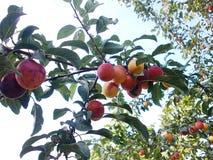 Wild plum Stock Photo