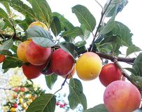 Wild plum. The fruit of wild plums royalty free stock image