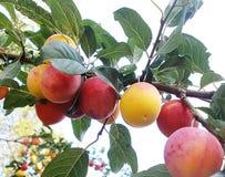Wild plum Royalty Free Stock Image