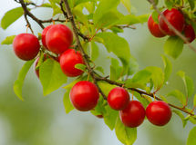 Wild plum growing in the nature. On sunny summer day stock photography