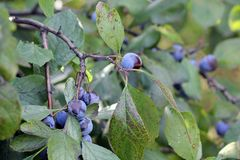 Wild plum. Ripe berries of wild plum on branches. Early autumn Stock Photography
