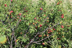 Wild plum thicket Royalty Free Stock Photography