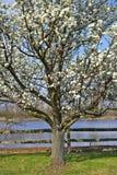 Wild Plum Tree. Flowering Wild Plum (American Plum) Tree Vertical Photo stock photography