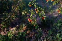 Wild plum tree. With berries royalty free stock photo
