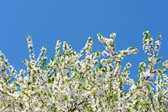 Wild plum tree in bloom on clear blue sky Stock Photo