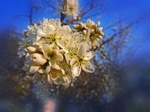 Wild plum tree blossoms in the spring. Magical spring season. Wild plum tree blossoms in the spring. Magical spring season romantic royalty free stock photography