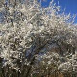 Wild plum tree flowering. Wild plum trees flowering in spring time stock photography