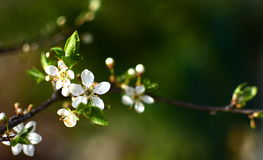 Wild plum tree in full bloom Royalty Free Stock Photos