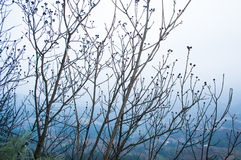 Wild Plum Tree. S began to sprout in the winter stock images