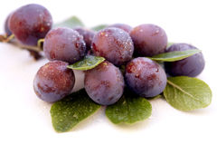 Wild plum with water-drops Stock Photography