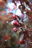 Wild plums Royalty Free Stock Photo