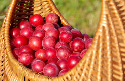 Wild plums. In a basket stock photography