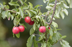 Wild plums Stock Photos