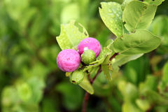 Wild plums in Seychelles Royalty Free Stock Images