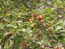 Wild plums Royalty Free Stock Images