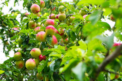 Wild plums. On the tree shot from close Royalty Free Stock Photo