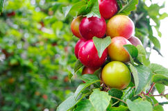 Wild plums. On the tree shot from close Stock Images