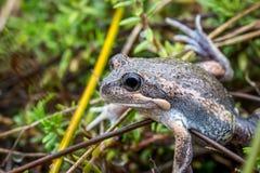 Wild Pobblebonk Frog, Sunbury, Victoria, Australia, September 2016. A wild Pobblebonk Frog resting in Reeds Stock Photography