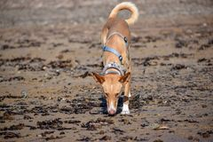 Wild podenco bronw dog in the beach stock photography
