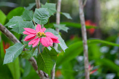 Wild Poinsettia. A pink poinsettia flower growing wild in the jungle of Belize with a soft blur background stock photography