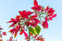 Wild Poinsettia. Growing in Cuba royalty free stock photos