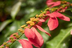 Wild poinsettia Warszewiczia coccinea tropical plant. Elongated red tropical flowers blooming on a Warszewiczia coccinea inside of a greenhouse in Soutrh royalty free stock image