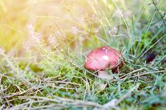 Wild Poison Red Mushroom. With White Dot In Grass At Sunny Day royalty free stock photo