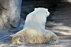 Wild polar Bear Stock Photo